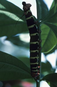 Black caterpillars may have multicolored stripes.