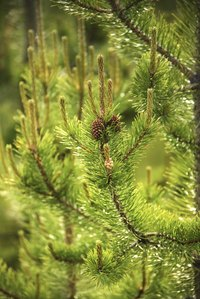 Most pine trees are susceptible to needle cast, which causes needles to brown.