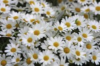 "The correct term for a daisy's flower head is ""inflorescence."""