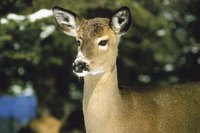 Deer can be dissuaded from entering your garden by using cayenne pepper spray.