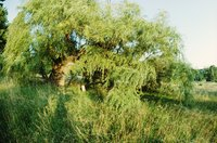 Willow stumps can re-sprout prolifically if they are not removed or treated.