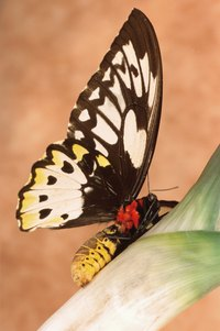 Caterpillars transform into butterflies when they mature.