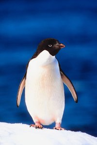 A penguin is a classic part of the Arctic environment.