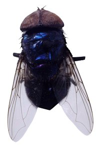 House flies have dark bodies and silvery wings.