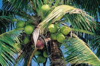 Coconuts turn from green to brown as they ripen.