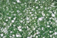The tiny blossoms of Baby's Breath serve well in floral bouquets.