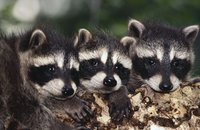 Discourage raccoons from visiting your yard.