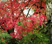 Dwarf Japanese maples remain quite short.