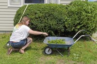 A woman using a wheelbarrow to collect cedar hedge trimmings.