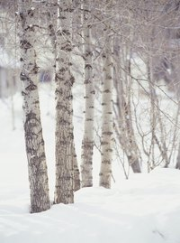 Birch trees are known for their white bark and tall, narrow stature.