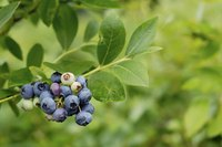 Blueberry plant.