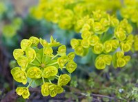 Gopher plant has blooms similar to these of donkeytail spurge (Euphorbia myrsinites) hardy in USDA zones 5 though 9.