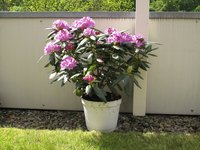 A large pot of blooming rhododendrons in the backyard.