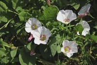 Bindweed flowers may be attractive, but they won't look good in your lawn.