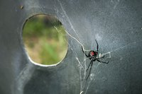 The northern widow spider has poor eyesight and rarely leaves its web.