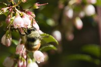 Huckleberry flowers are pollinated by bees and hummingbirds.