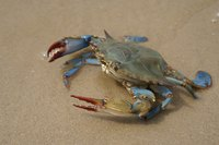 Close-up of Maryland blue crab on sand.