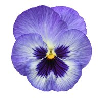 Pansies, like this blue one, and violas are often confused bedding plants.