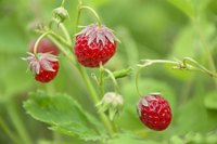 Strawberries need lots of sun to produce a good crop of fruit.