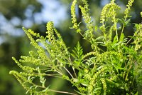 A single ragweed plant produces up to 1 billion pollen grains.