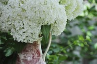 """Annabelle"" bloom clusters grow 8 to 12 inches wide."