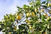 Winter weather can damage lemon fruits, which develop year-round.