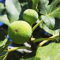 If fig trees don't get enough water during prolonged droughts, they may drop their fruit.