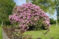 Whether planted as a single specimen or in masses, rhododendron draws the eye.
