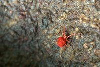 Eight-legged red mites, like all mites, are relatives of spiders; they aren't considered insects or bugs.
