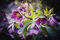 Lenten rose flowers can bloom through snow cover.