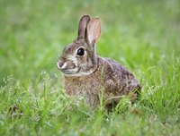 Cottontail rabbits are among many pests that may eat strawberry plants.