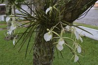 Orchid roots attach to a tree but do not take nutrients or moisture from the tree.