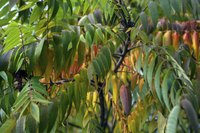 Leaves on the branches of a Tiger Eye shrub in early autumn.
