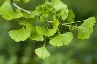 The ginkgo is often called a living fossil.