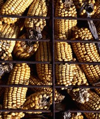 Without boiling first, corn will take 20 minutes to grill, during which it can become tough.