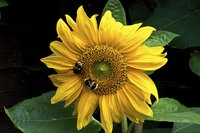 Bees are major pollinators of sunflower florets.