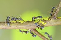 Ants farm aphids by stroking their abdomens to stimulate honeydew release.