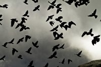 Scare tactics work best when crows are flying, particularly as they begin to roost before dark.