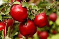 Red delicious apples growing on a tree.