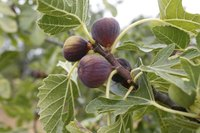 Heavy yields of fig fruits typically ripen all at once.
