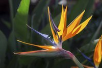 Bird of paradise blooms from late winter through late spring.