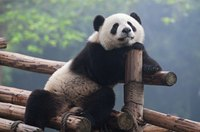 Get that iconic cute, if not cuddly, look of a panda.