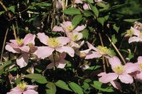 Pink clematis growing outdoors.