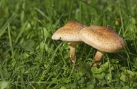 Mushrooms can grow in unsightly patches throughout a lawn.