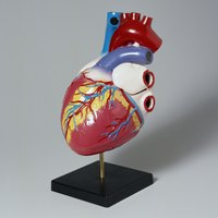 The blue and red tubes at the top of the heart are the superior vena cava and the aorta, respectively.