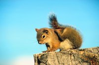 Red pine squirrels can cause home damage and often need to be removed.