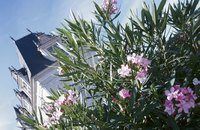 Oleander prefers average soil in full sun to partial shade.