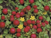 Strawberry plants produce the most fruit in full-sun sites.