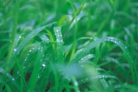 Green lawns don't always need additional watering.
