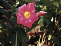 Mandevilla vines naturally tend to become sparse at the base as they grow.